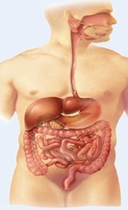 Sistem Pencernaan Manusia Proses Organ Penyusun Gangguan