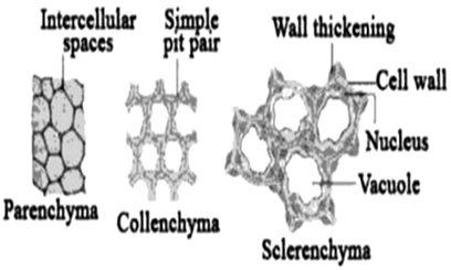 Jaringan Tumbuhan - Ciri-ciri, Fungsi, Struktur, Macam-macam