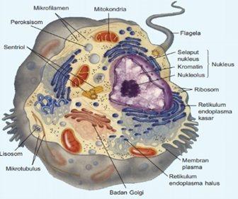 Sel Hewan Ciri Ciri Organel Fungsi Struktur Rangka Sel Hewan