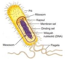 Sel Pengertian Struktur Membran Inti Organel Fungsi Sel